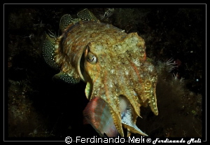 Cuttlefish's hunting by Ferdinando Meli 
